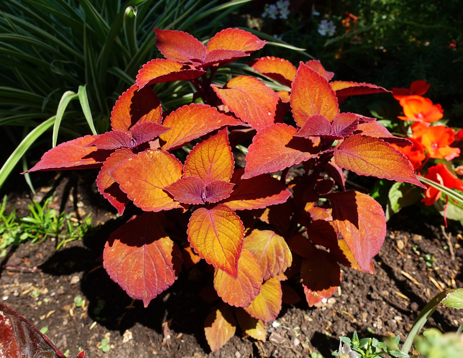 Coleus Growing Guide for Gloriously Colorful Borders