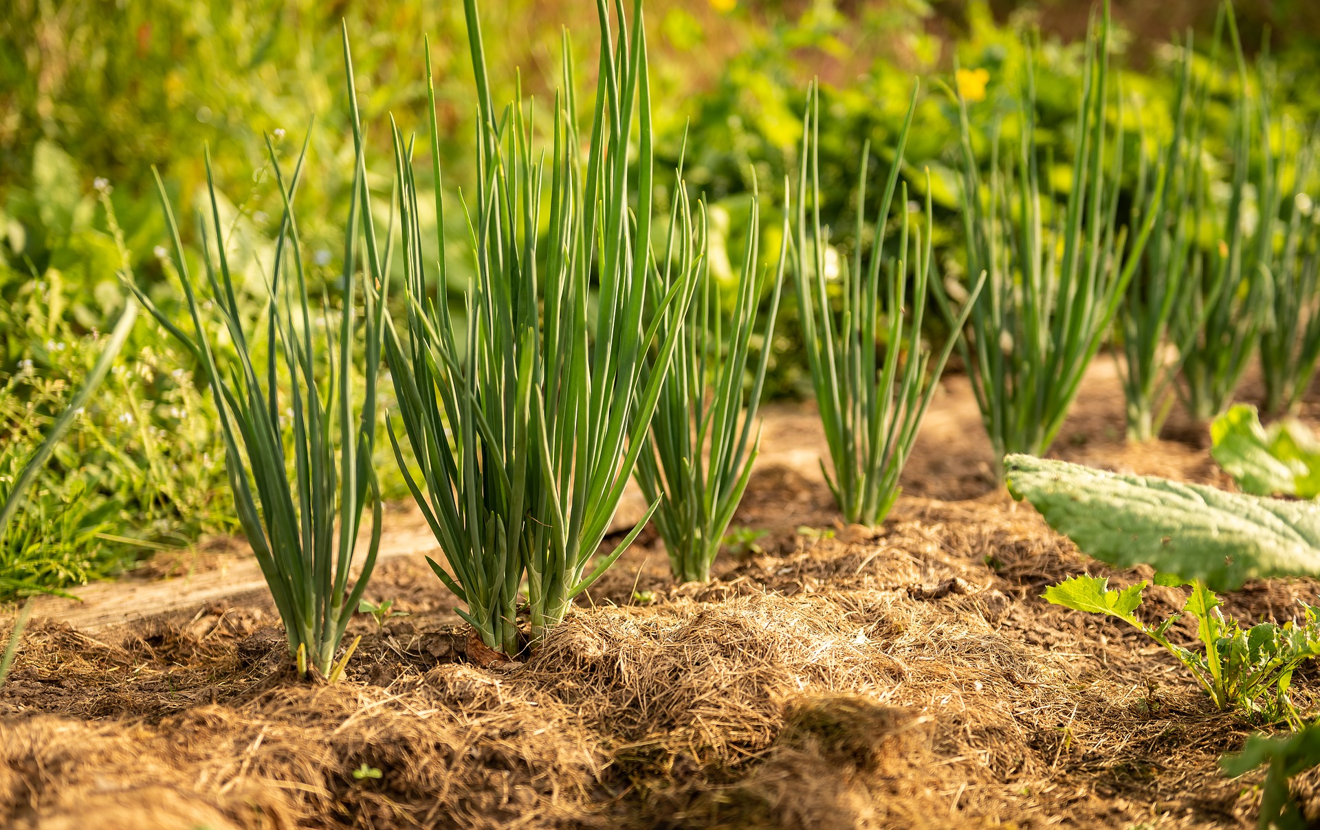 The Complete Guide to Successfully Growing Onions From Seed