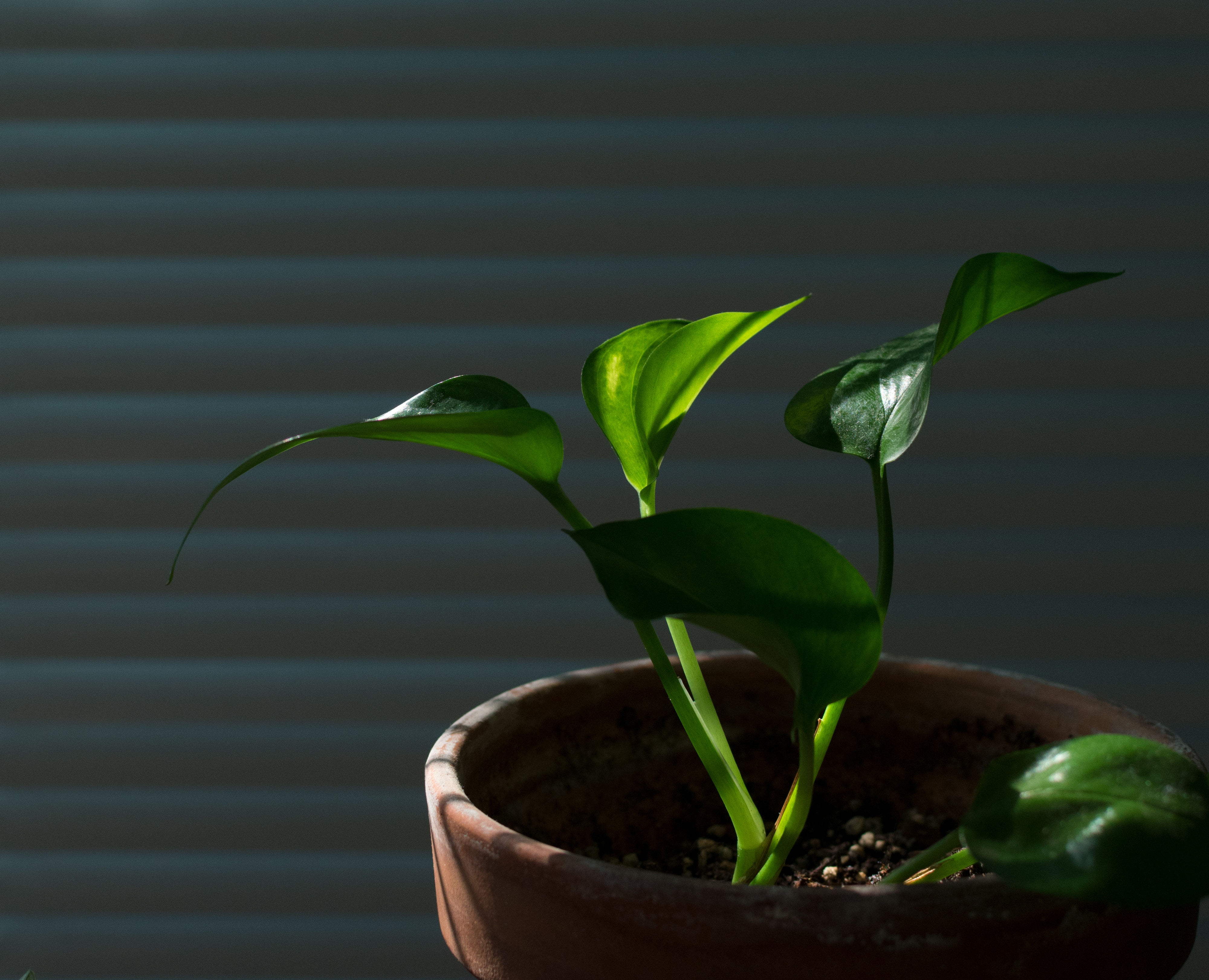 Devil's Ivy Plant (Golden Pothos) Growing and Care Guide