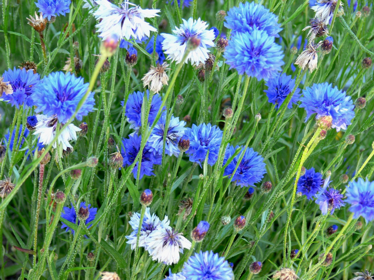 A Complete Guide on Growing Cornflower for Perfect Perennial Blooms