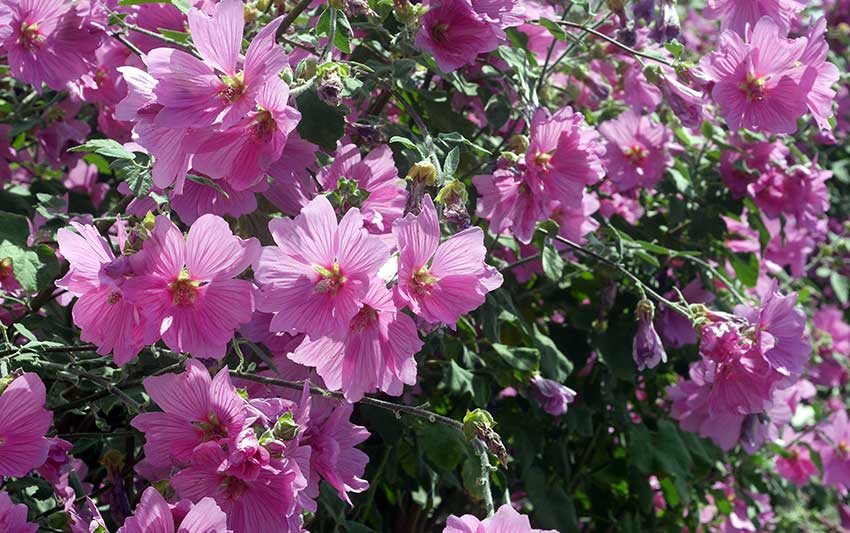 An Easy Growing Guide for Cultivating Stunning Lavatera Mallows