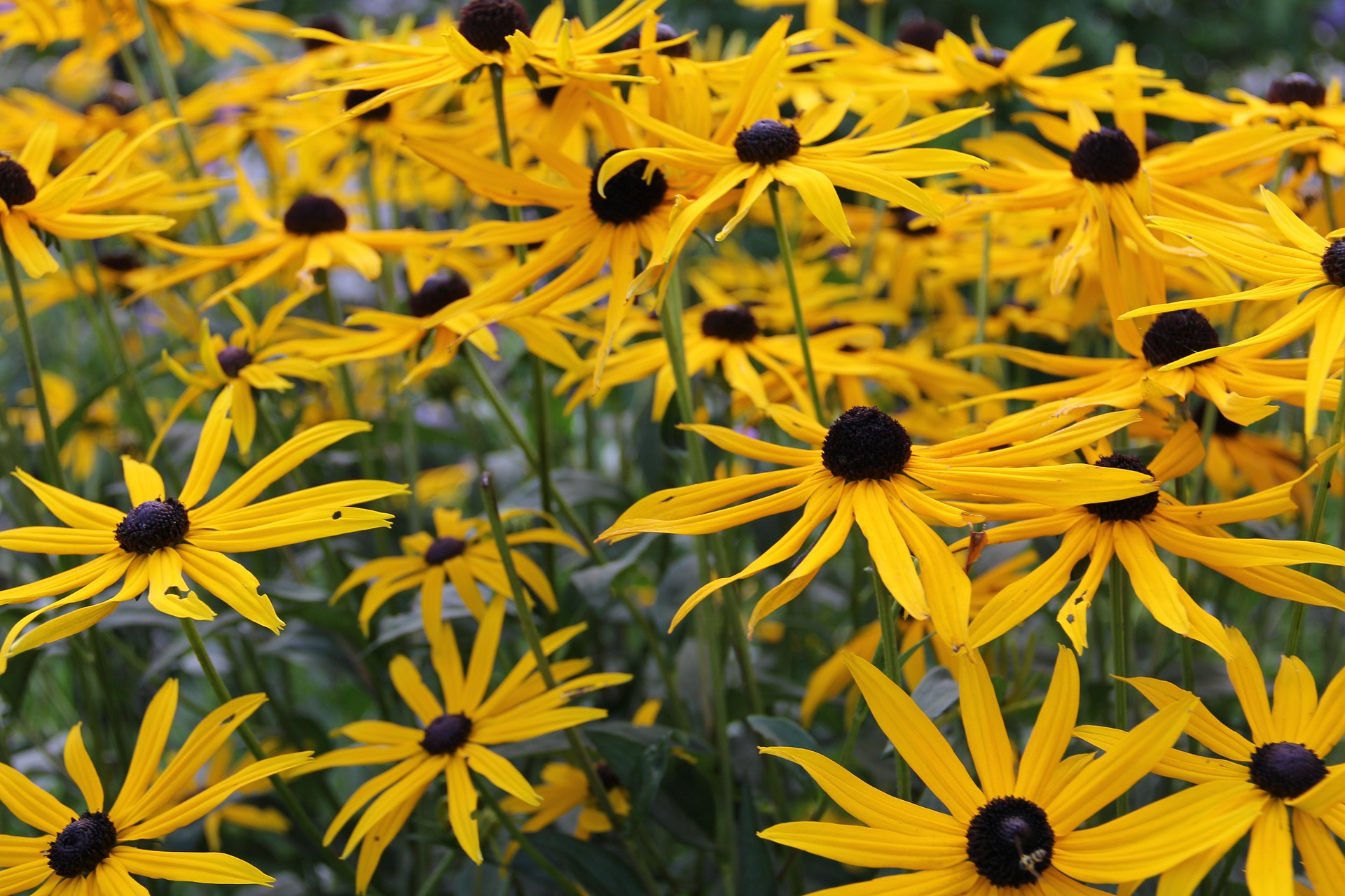 How to Grow Arnica Plant in Your Garden