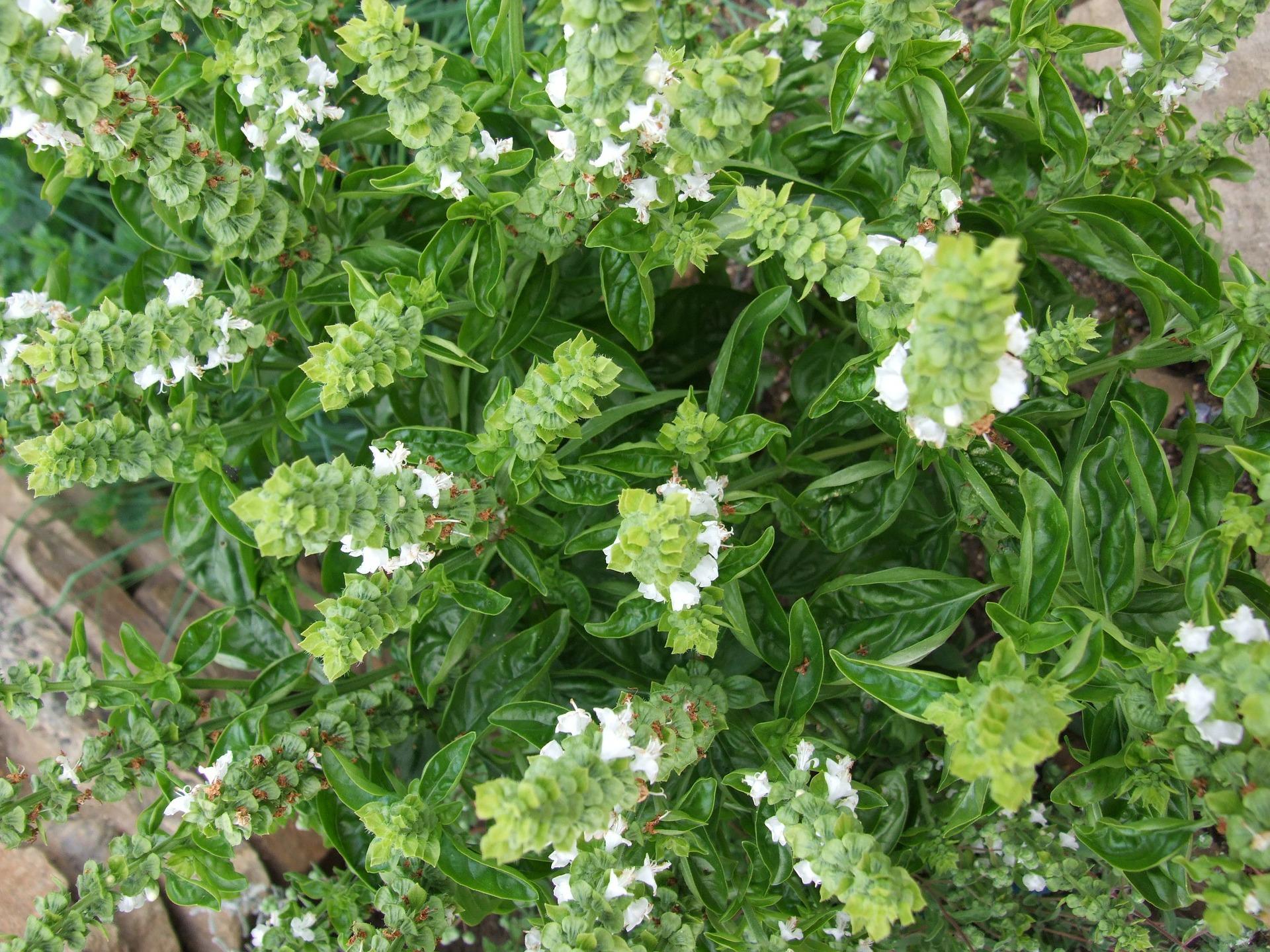 18 Best Basil Varieties You Should Grow in Your Garden