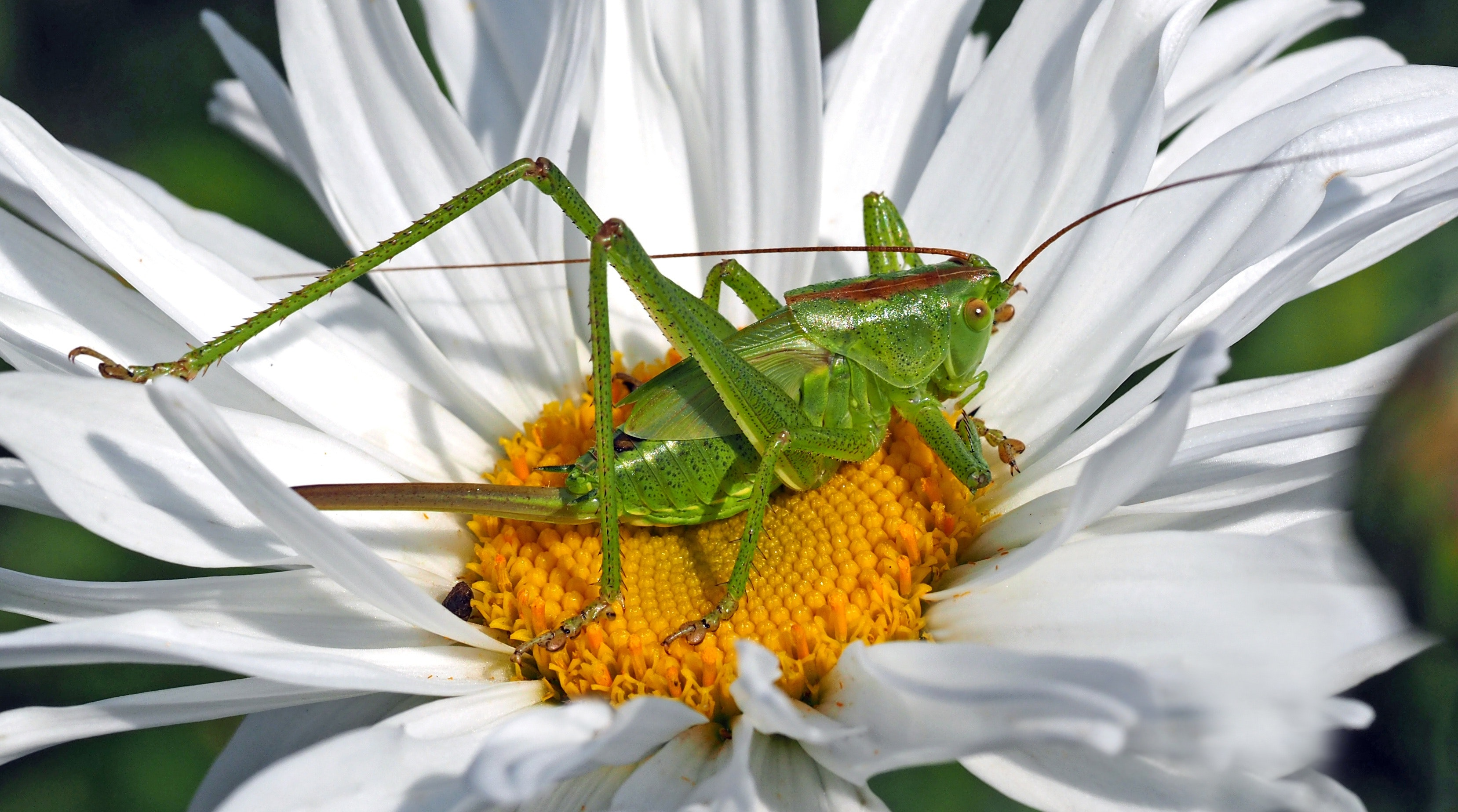 How to Get Rid of Grasshoppers the Organic Way