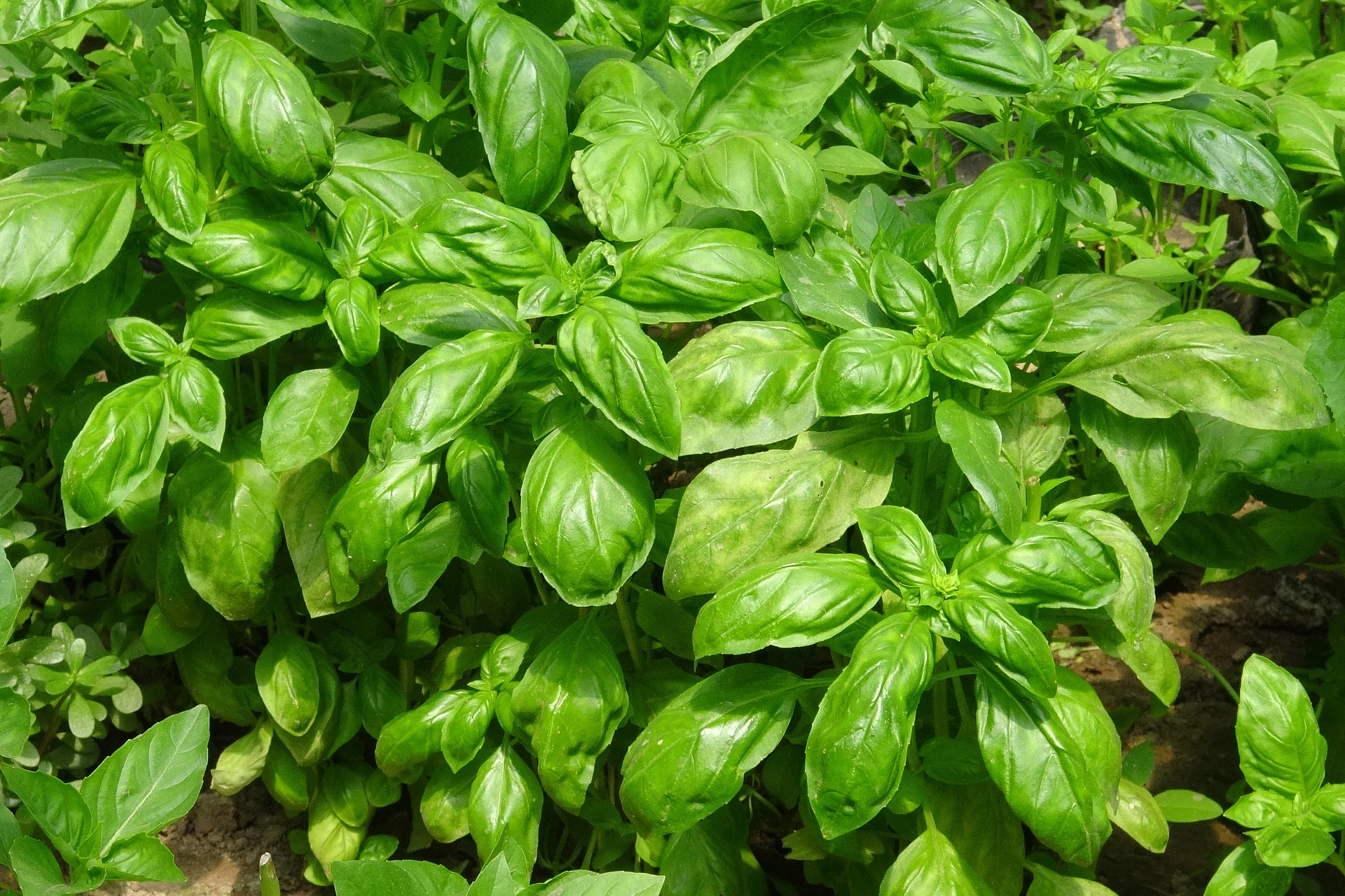 5 Basil Varieties You Can Use in the Kitchen and Pharmacy