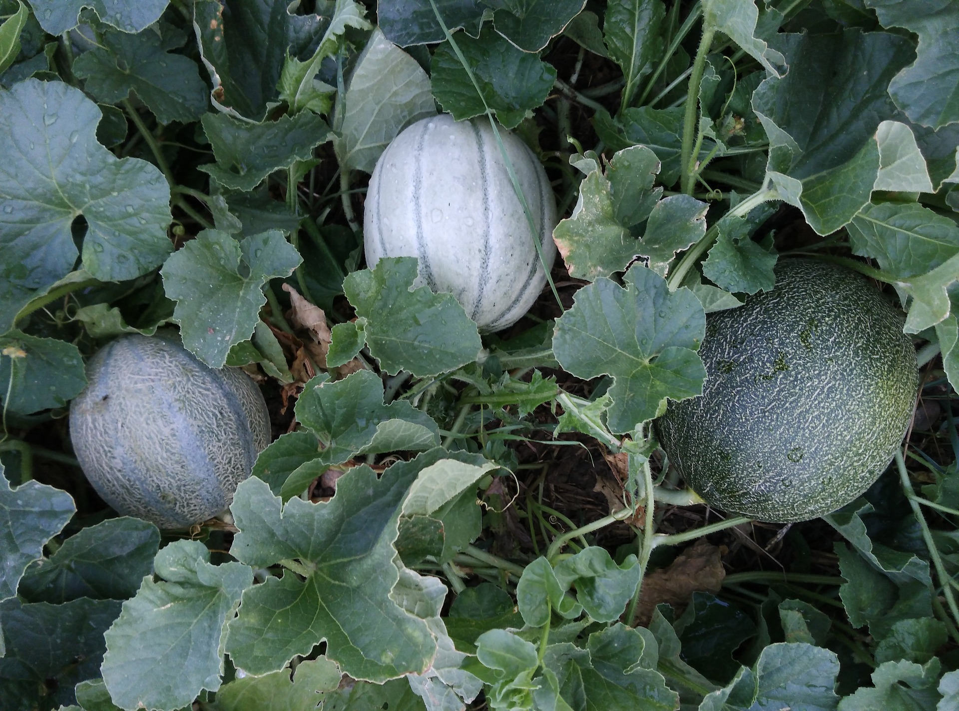 How to Grow Cantaloupe for a Sweet Backyard Harvest