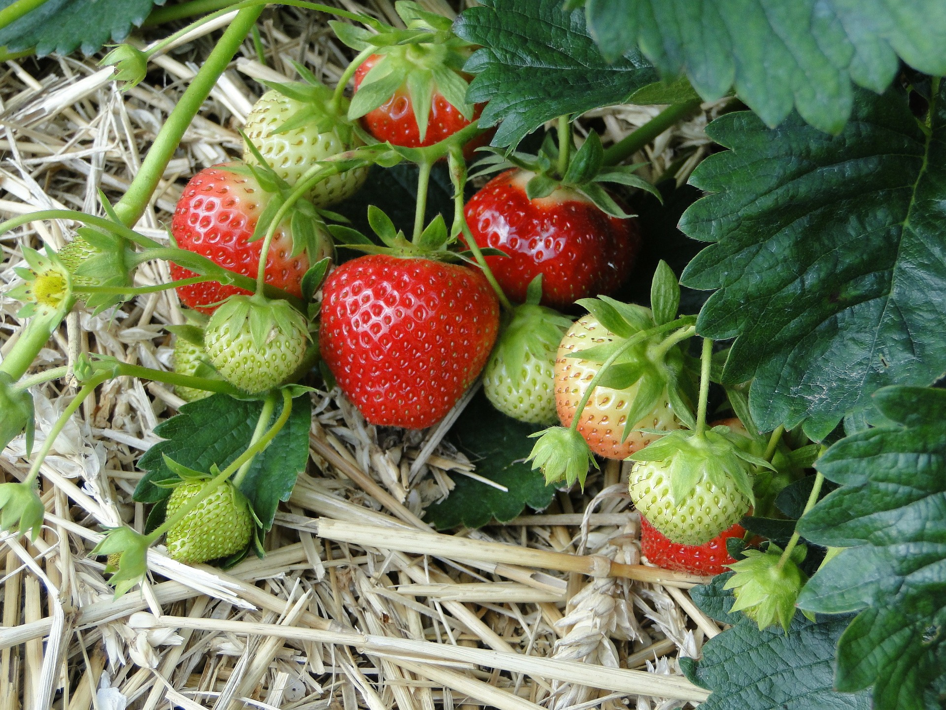 Growing Strawberries – How to Grow the Most Delicious Strawberries You've Ever Eaten