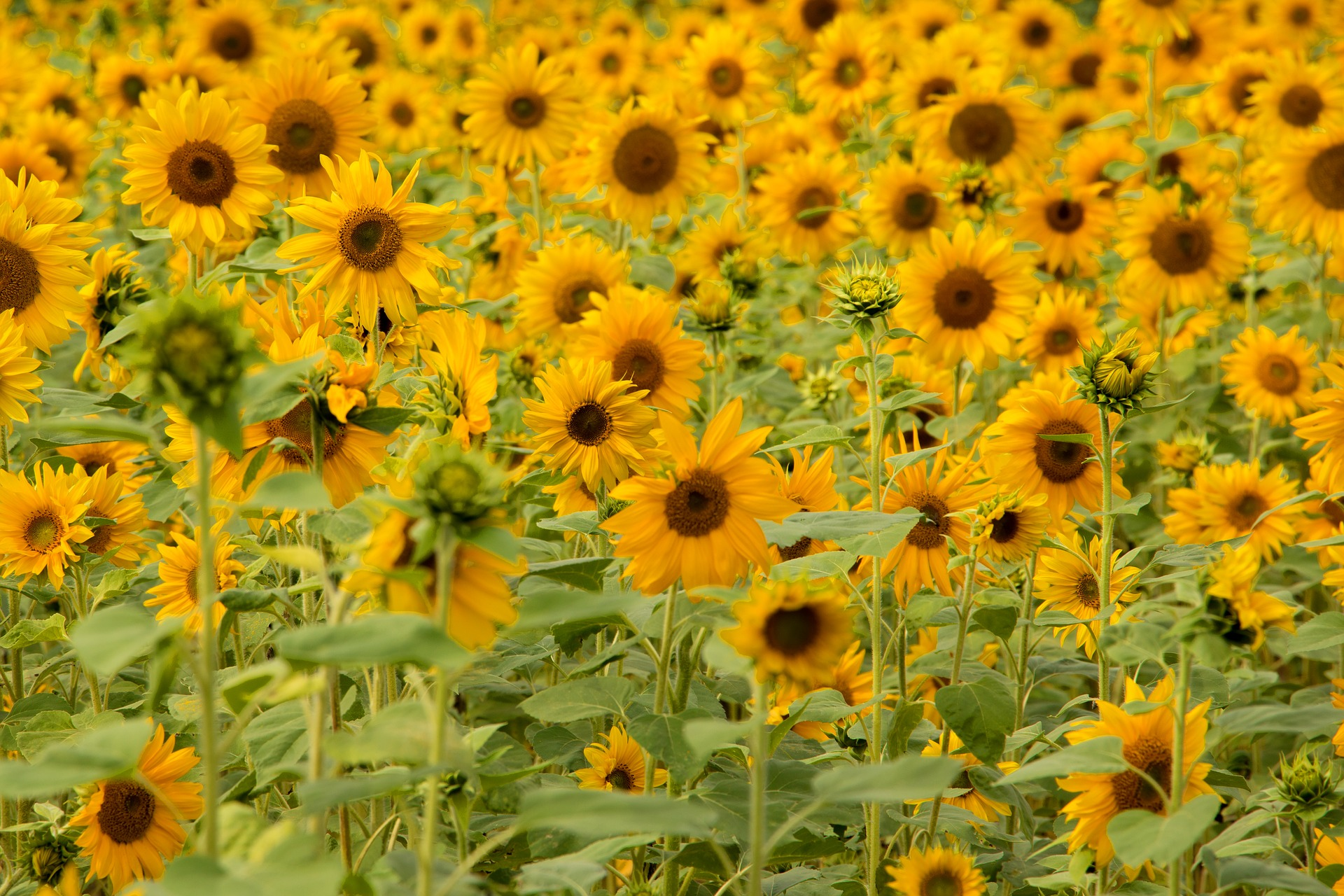 18 Stunning Types of Sunflowers to Add to Your Summer Garden