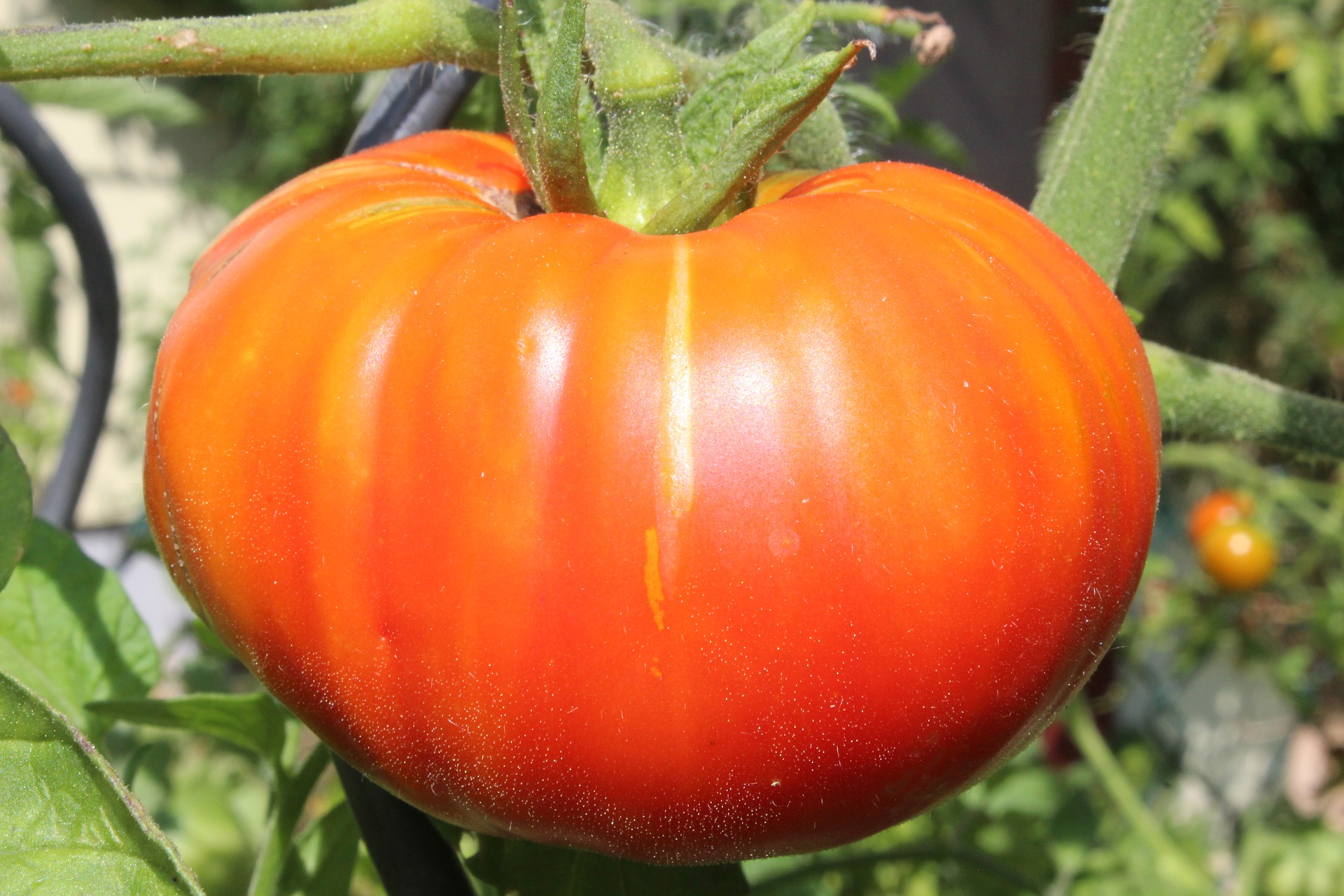 How to Grow Beefsteak Tomatoes – Everyone's Favorite Tomato