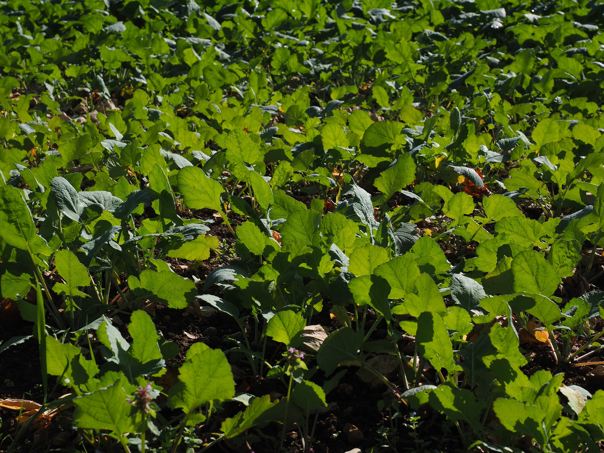 How to Use Green Manure to Improve Soil Fertility