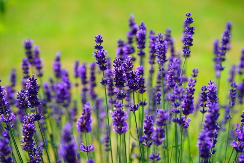 Lavender and lemongrass mosquito repellent
