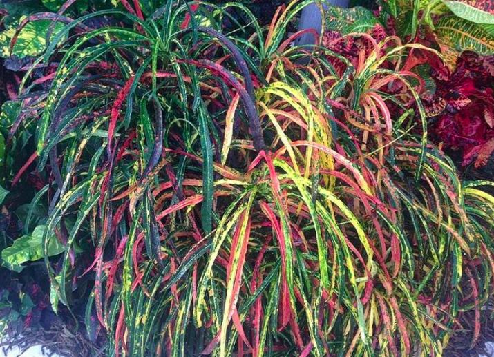 Croton majesticum