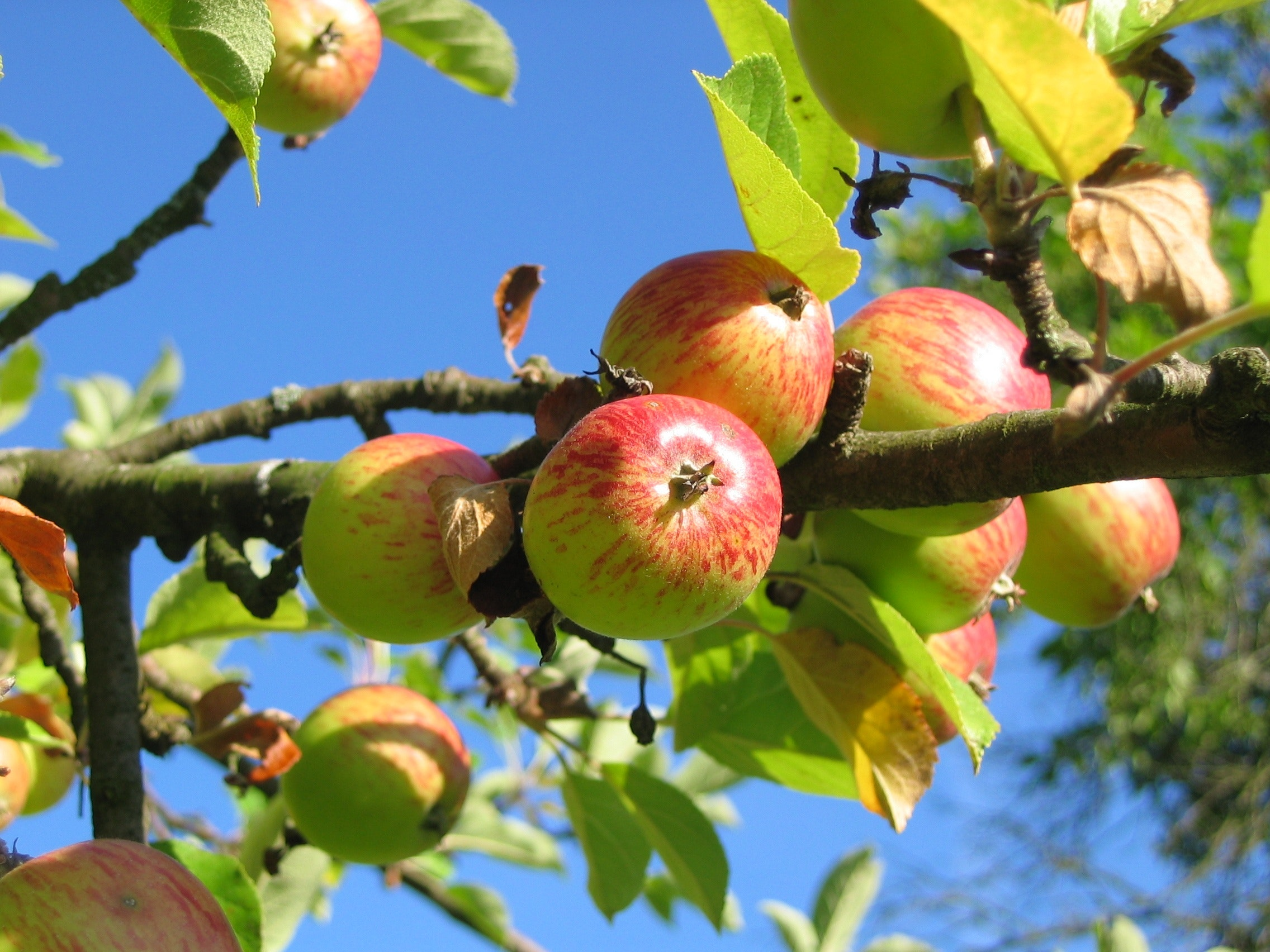 How to Grow Columnar Apple Trees in Your Urban Garden