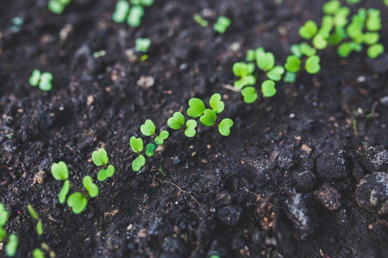 Rocket lettuce seedlings