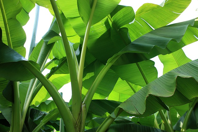 Growing a banana tree indoors
