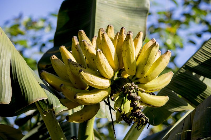 Banana fruit ripening