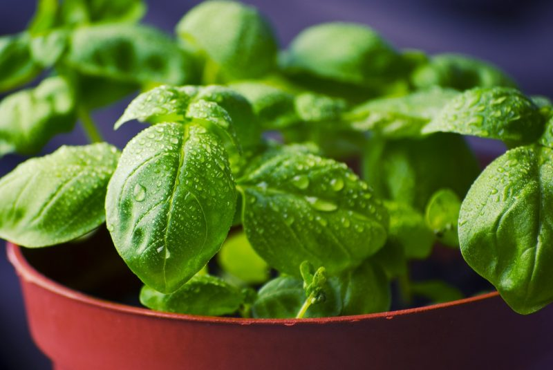 Basil is ideal for an apartment herb garden
