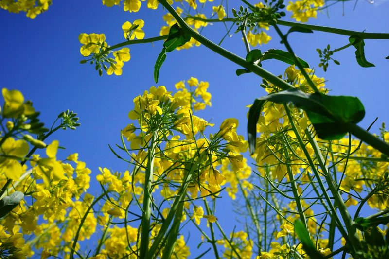 Mustard plants and other brassicas