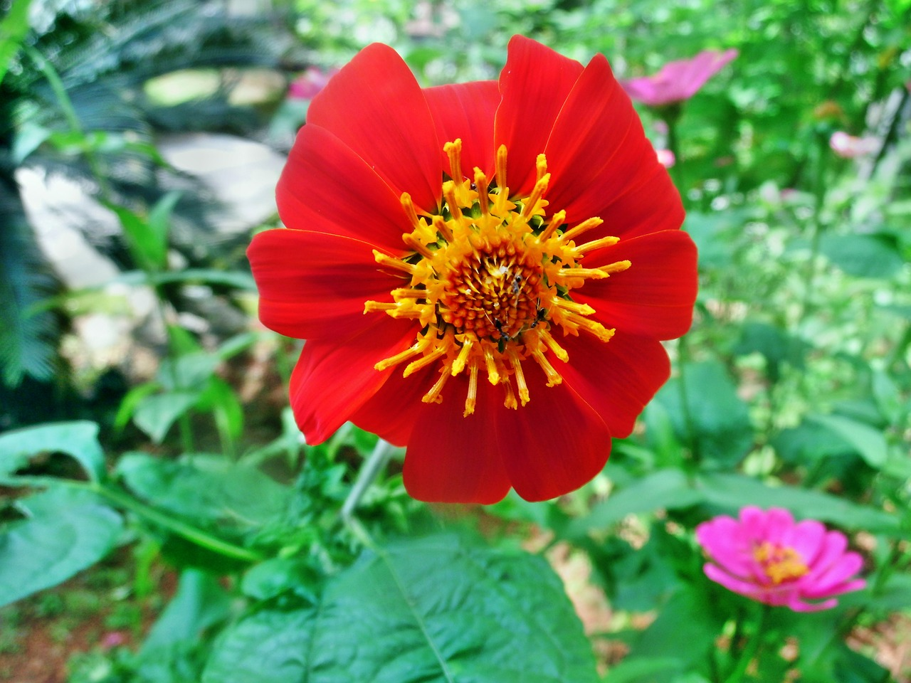 The Best Way to Grow Mexican Sunflower Plant
