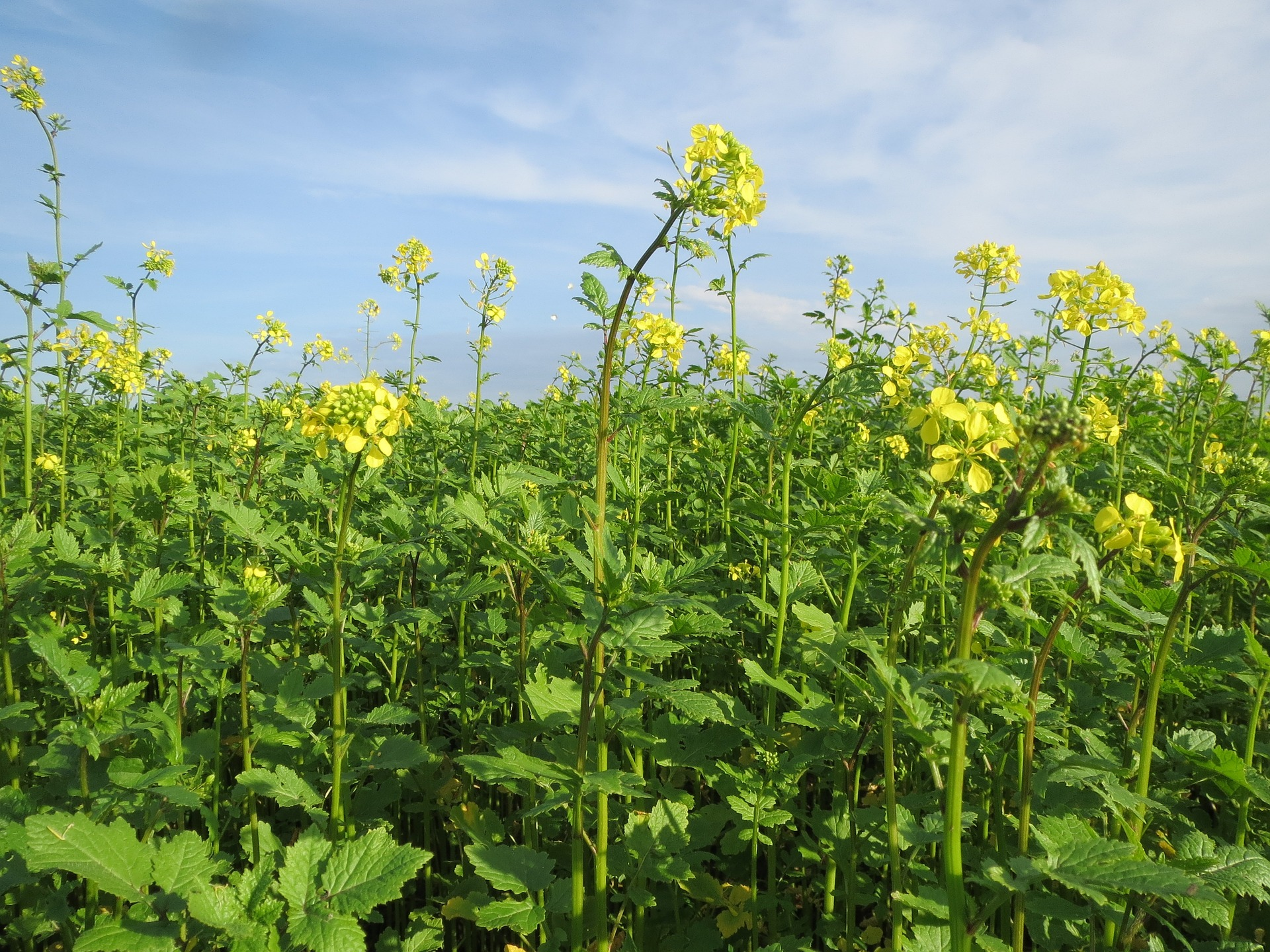 Grow a Mustard Plant as a Trap Crop and Save Your Brassicas