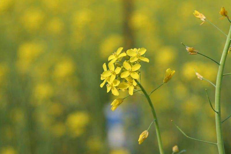 Mustard plant in flower