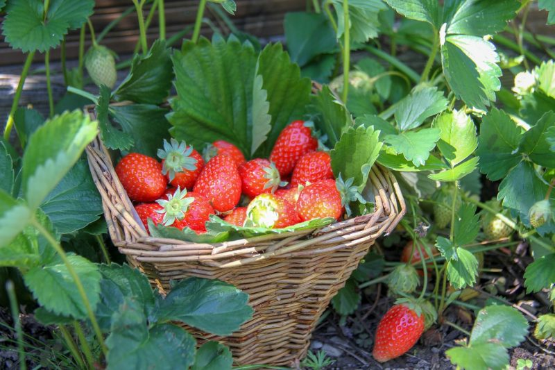 Garden quotes about strawberries