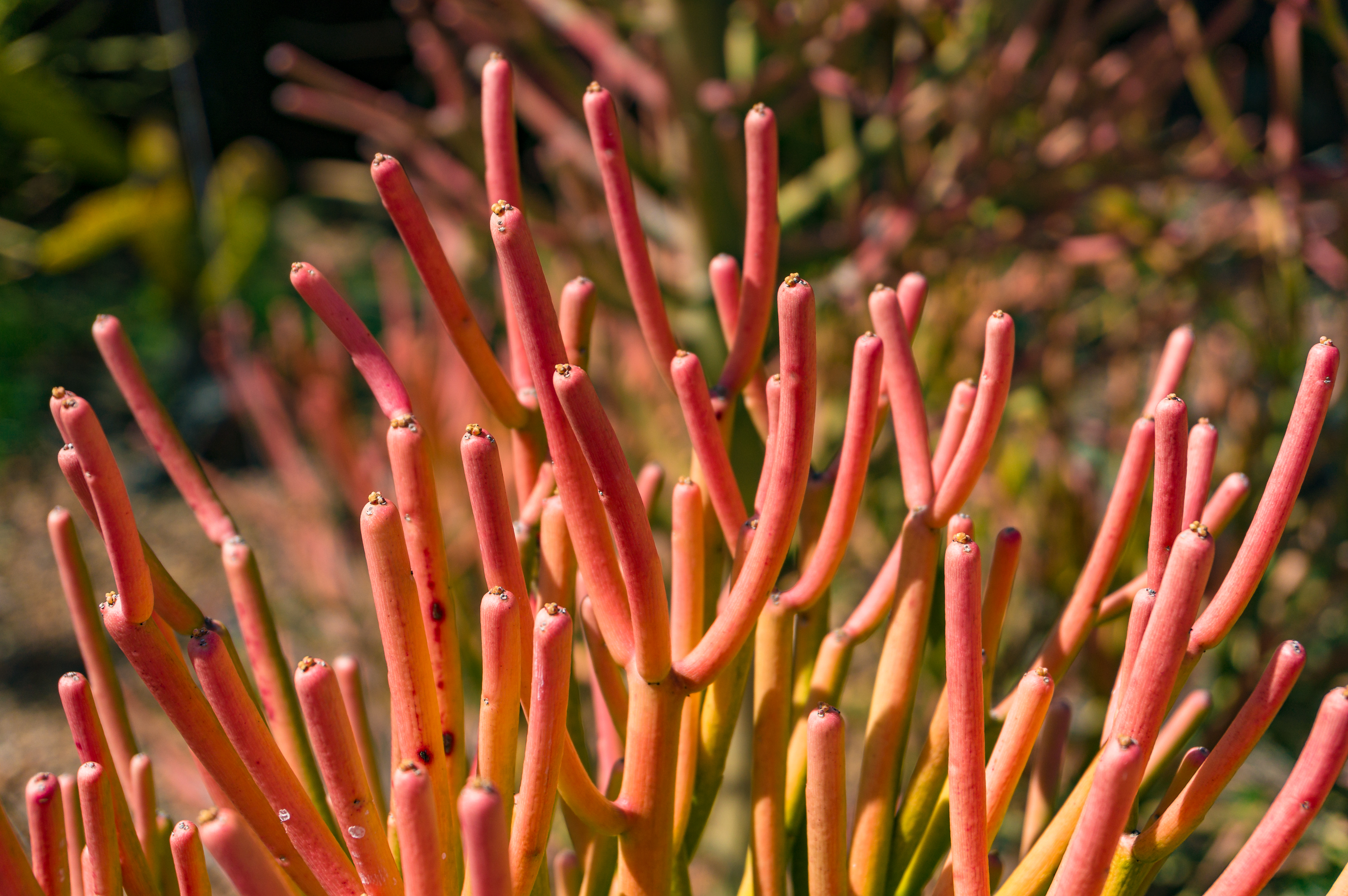 How to Grow a Stunning Euphorbis Tirucalli Pencil Cactus Anywhere