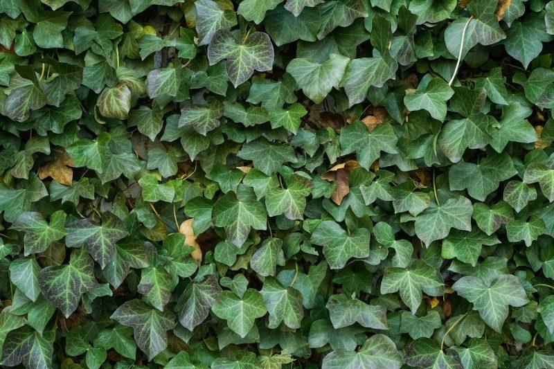 Ivy vine trellis plants