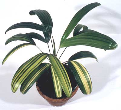 Kotobuki lady palm