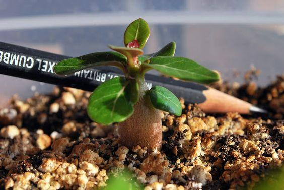 Adenium seedling