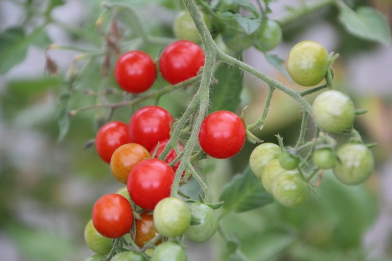 Cherry tomatoes for raised vegetable garden beds