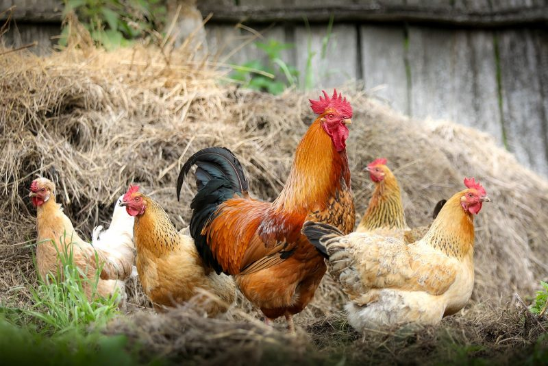 Let chickens forage in compost for free animal feed