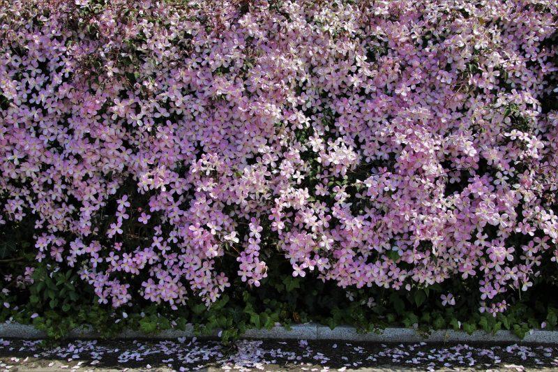 Clematis vine trellis plants