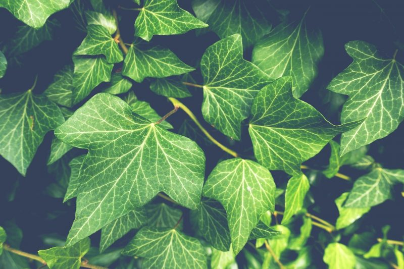 Ivy and climbing plants