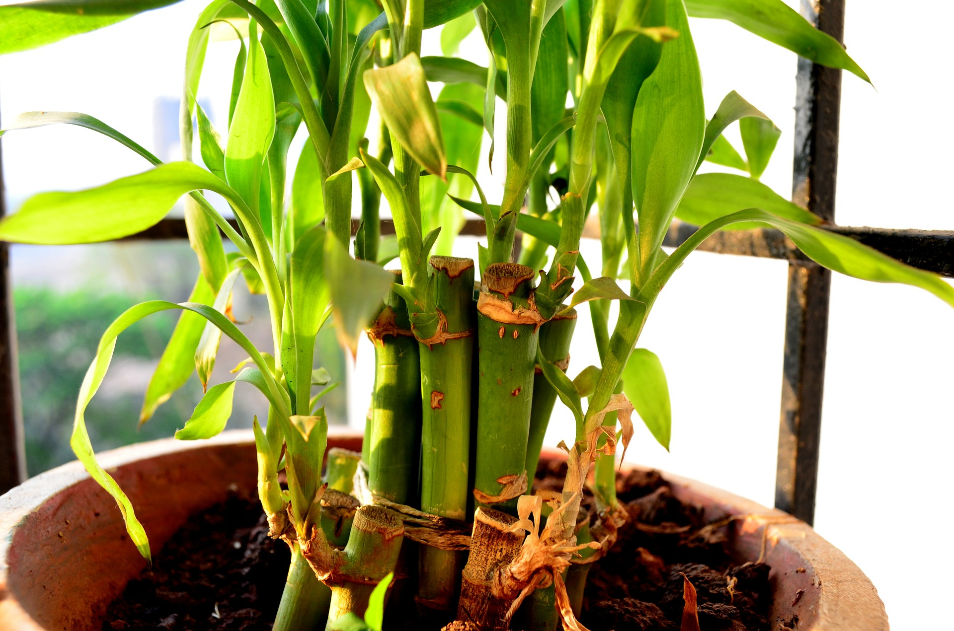 How to Grow and Care for Your Lucky Bamboo Plants