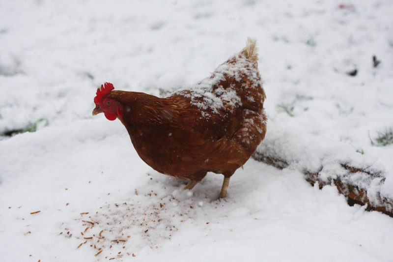 Chicken feed in snow