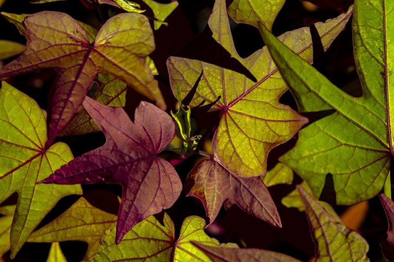 Sweet potato vine
