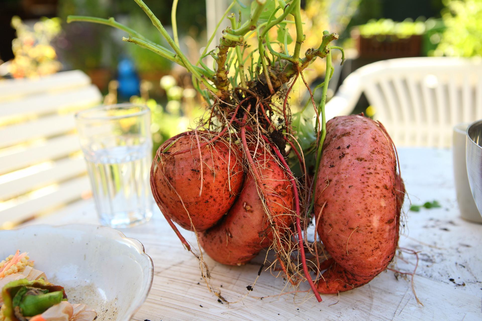 Grow a Dual Purpose Sweet Potato Vine for a Double Food Harvest