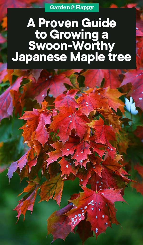 A Complete Guide To Growing A Japanese Maple Tree Garden And Happy