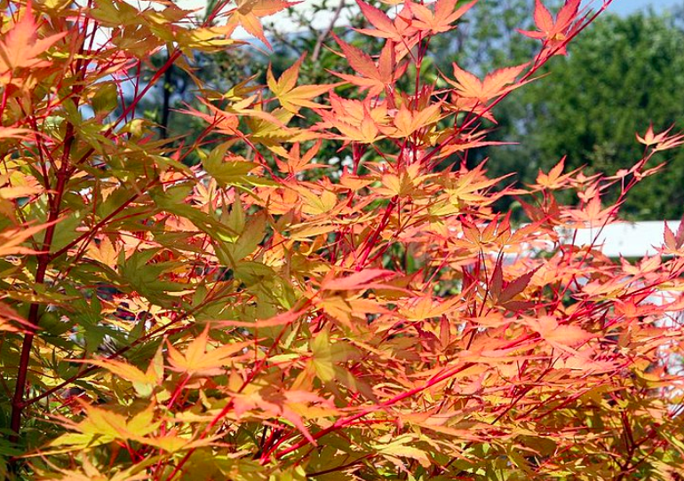 Sango kaku Japanese maple tree