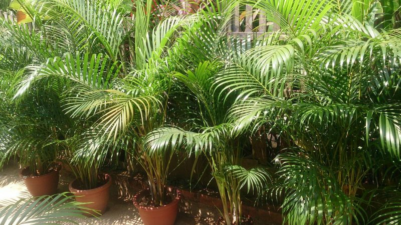 Areca palms are great bedroom plants