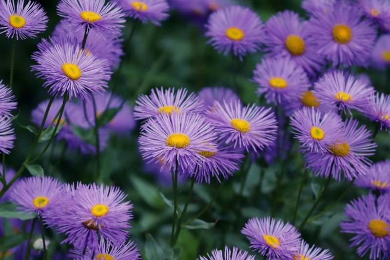 Asters for green roof plants