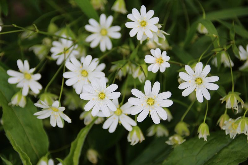Stellaria media ground cover