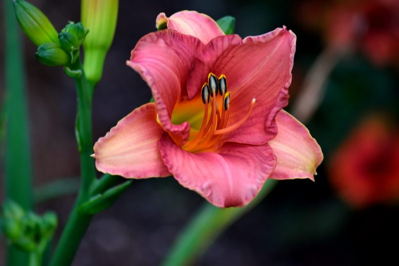 Day lilies vs Tiger Lilies