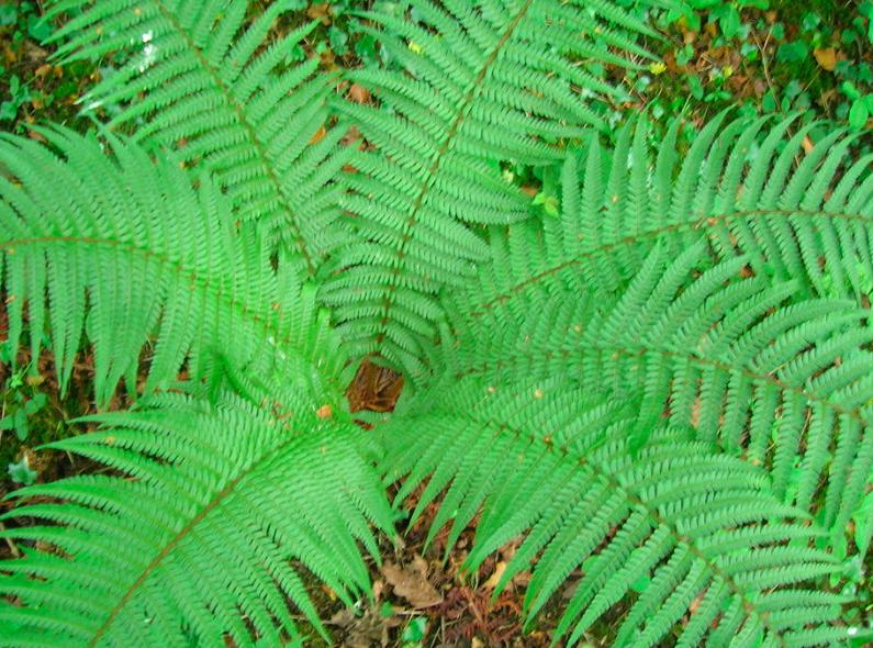 "Dryopteris affinis ""Cristata"""
