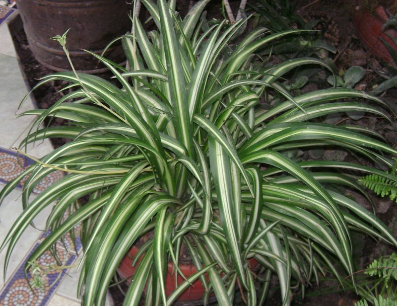 Spider plants are ideal bedroom plants