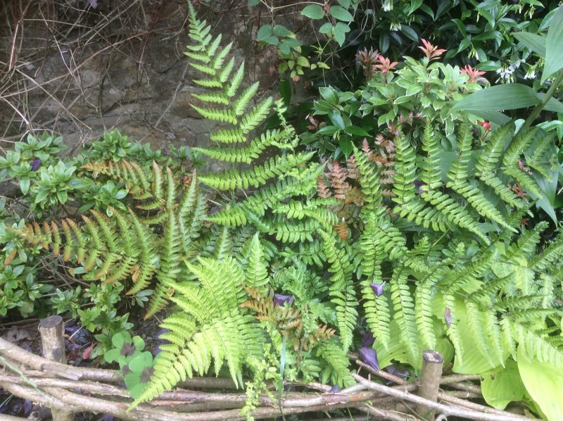 Dryopteris enthyrosa types of ferns