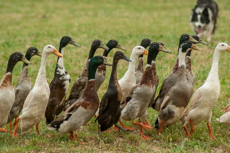Indian runner duck breeds
