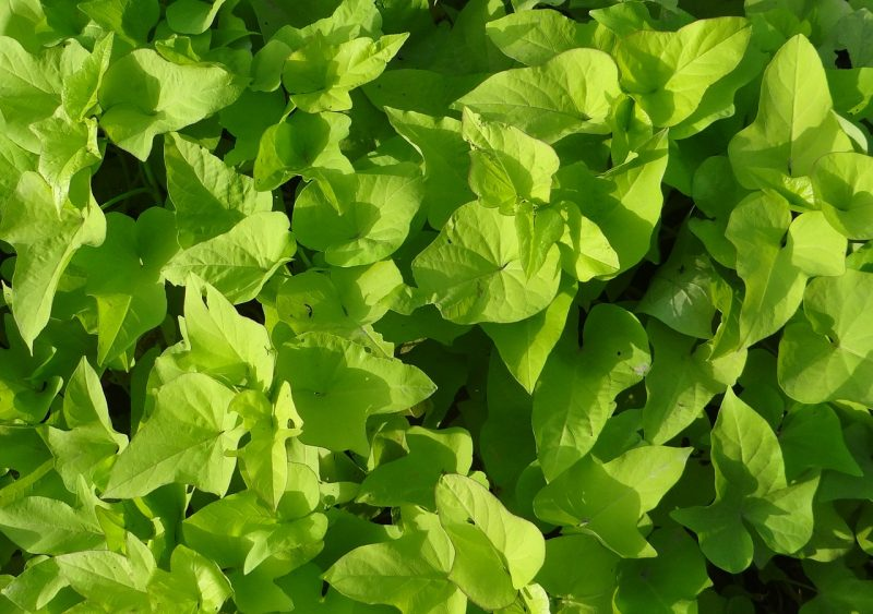 Sweet potato vine ground cover plants
