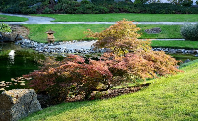 Japanese maple in garden
